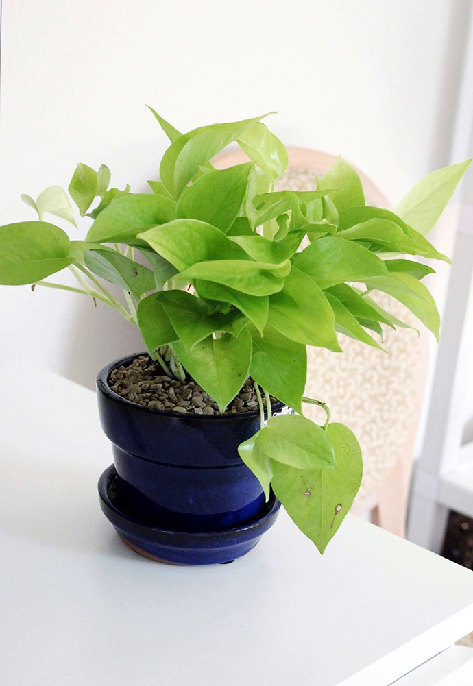 The Plant Club July 2020 Unboxing & Review - Pothos Neon - Epipremnum aureum - devil's ivy - care instructions, pet safe, how much water