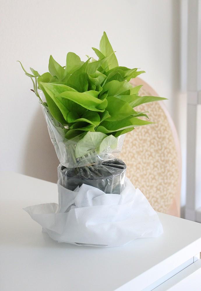 The Plant Club July 2020 Unboxing & Review - Pothos Neon - Epipremnum aureum - devil's ivy - care instructions, pet safe, how much water