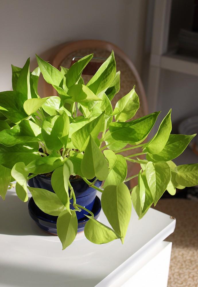Pothos Neon or Epipremnum aureum 3 months
