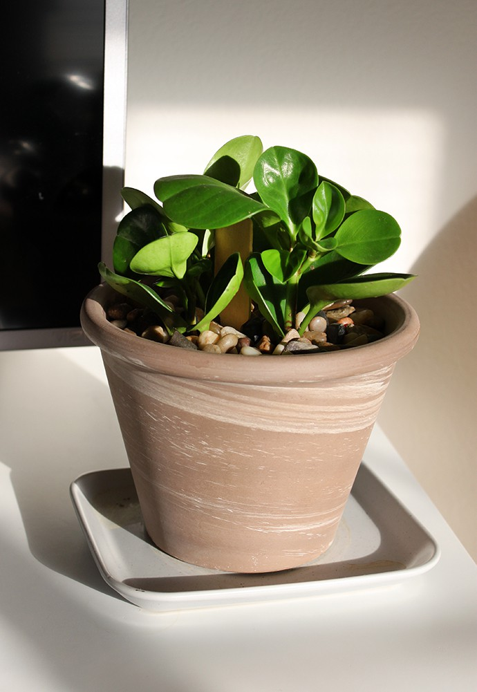 Baby Rubber Plant or Peperomia obtusifolia. 2 months