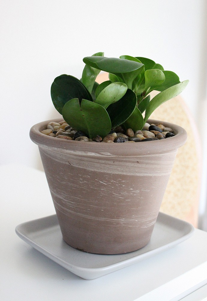 The Plant Club August 2020 unboxing & review - Baby Rubber Plant Peperomia obtusifolia