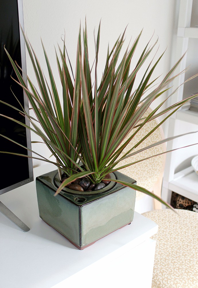 The Plant Club September 2020 Unboxing & Review - Dracaena marginata care. Is it safe for dogs and cats?