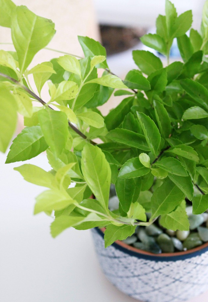 The Plant Club Monthly July 2021 Unboxing & Review - Duranta erecta